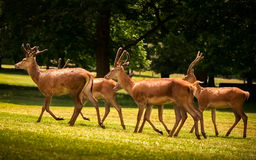 Free Four Young Red Deer Walking Stock Photo - 49137280