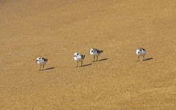Four Young Sea Gulls on Beach at Waters Edge Stock Photo