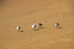 Four Young Sea Gulls on Beach at Waters Edge Stock Photography