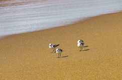 Four Young Sea Gulls on Beach at Waters Edge Royalty Free Stock Images