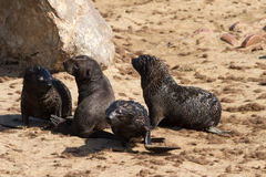 Four young seal pubs playing at the beach Stock Photos