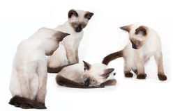 Four young siamese cats Stock Images