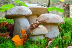 Four young specimen of Boletus edulis. Boletus edulis or Penny Bun, or Cep in natural habitat, group of four young, helthy specimen of different sizes in a moss Royalty Free Stock Images