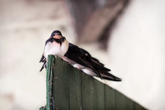 Four young swallows Royalty Free Stock Photo