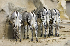 Four Zebra butts Stock Photography