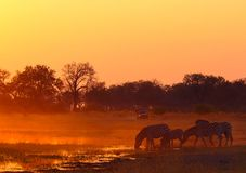 Four zebras drinking water during sunset at Khwairiver in Botswana. Four zebra drink water from Khwairiver in foreground with tourist overland truck in the stock photos