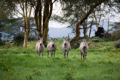 Four zebras Stock Photography