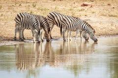 Four Zebras drinking. Stock Photo