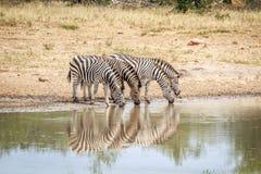 Four Zebras drinking. Royalty Free Stock Photos