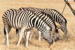 Four Zebras eating Stock Images