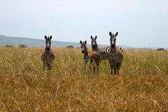 Four zebras looking at the camera Royalty Free Stock Image