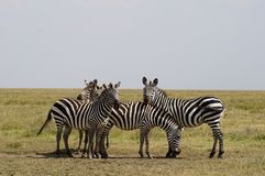 Four zebras Stock Photo