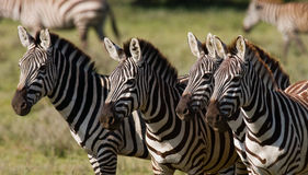 Four zebras stand together. Kenya. Tanzania. National Park. Serengeti. Maasai Mara. Stock Images