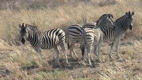 Four Zebras Standing in Dry Grass in Makgadikgadi Pans. Four Zebras Standing in Dry Grass in the Sowa Pan, Makgadikgadi Pans National Park, Botswana, Africa stock video footage