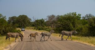 Four zebras walking across a road. In a straight line with a vehicle in the background image with copy space in landscape format Royalty Free Stock Photo