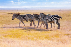 Four zebras walking in the wilderness of Africa Royalty Free Stock Photography