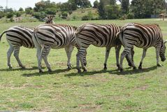 Four Zebras. Four Zebra in a row. Few zebra species have superior habitats in comparison to others. Plains zebra is one of them. These species are akin to live Stock Photos