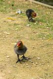fouraging在溪附近的两只欧亚水老傻瓜小鸡 免版税图库摄影