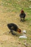 fouraging在溪附近的两只欧亚水老傻瓜小鸡 免版税库存图片