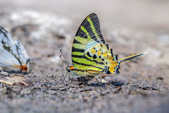 The Fourbar Swordtail butterfly. The Fourbar Swordtail in nature and forest on sand Royalty Free Stock Photo