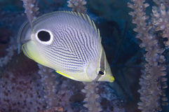 Foureye Butterflyfish Imagem de Stock Royalty Free
