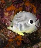Foureye Butterflyfish Image stock