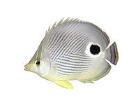 Foureye Butterflyfish Stock Images