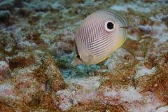 Foureye Butterflyfish (Chaetodon capistratus). Feeding Stock Image