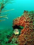 Foureye Butterflyfish Stock Photography