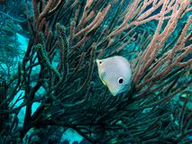 Foureye Butterflyfish Stock Photography