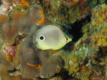 Foureye Butterflyfish on a Tropical Coral Reef Stock Image