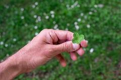 Fourleaf-Klee in einer Hand, Wunsch des guten Glücks Lizenzfreie Stockbilder
