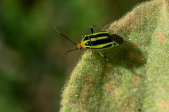 Fourlined Plant Bug - Poecilocapsus lineatus. Fourlined Plant Bug resting on a leaf. Todmorden Mills Park, Toronto, Ontario, Canada Stock Photo