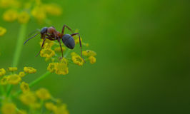 fourmi Photographie stock libre de droits