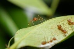 fourmi Photos libres de droits