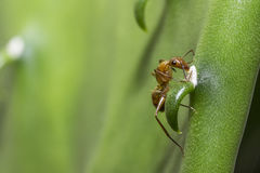 fourmi Photo libre de droits