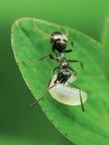 Fourmi avec la larve images libres de droits