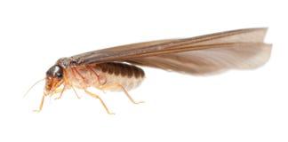 Fourmi blanche de termite Photos stock