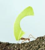 fourmi de Lame-coupeur, octospinosus d'Acromyrmex Images libres de droits