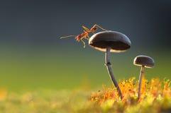 Fourmi de tisserand sur un champignon Image stock