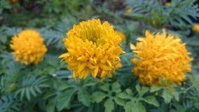 Fourmi de travailleur sur la fleur jaune Photos libres de droits