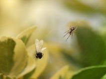 Fourmi de vol dans la toile de l'araignée images libres de droits