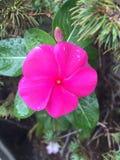 Fourmi et pluie sur une fleur image stock