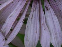 Fourmi et ver minuscule sur les pétales rosâtres d'Echinacea Photos libres de droits