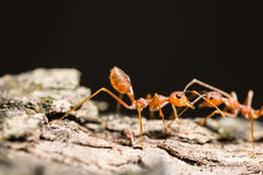 fourmi macroted Photo libre de droits