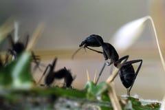 Fourmi mangeant l'insecte Images stock