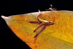 Fourmi, nature d'insecte, naturelle Images stock