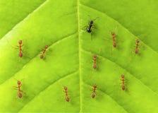 Fourmi noire parmi les fourmis rouges sur la feuille Photos libres de droits