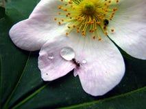 Fourmi potable Photo libre de droits