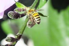 Fourmi recherchant le nectar Photos stock